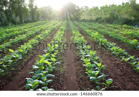 row of tobacco plant in rural farm land - stock photo