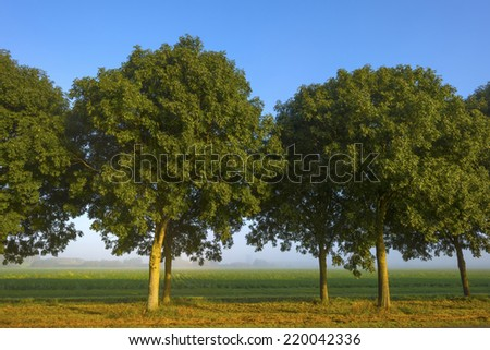 Row of trees along a field at sunrise - stock photo
