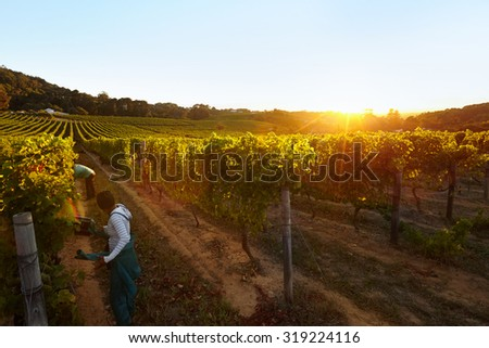 Row of vines with workers working in grape farm. People harvesting grapes in vineyard. - stock photo