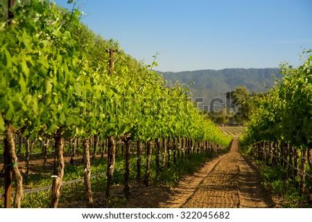 Row of Vineyard Grape Vines - stock photo