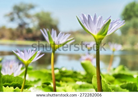 Row of violet water lilies - focus on the nearest flower. Shot near Somerset West/Cape Town, South Africa.  - stock photo