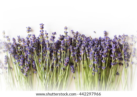 Row of wild mountain lavender flowers on white background with copy space - stock photo