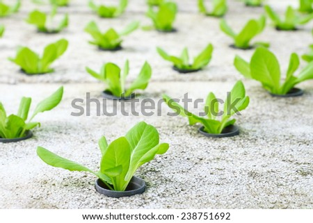Row of young green cos lettuce/ butterhead - hydroponics vegetable farm in Thailand. - stock photo