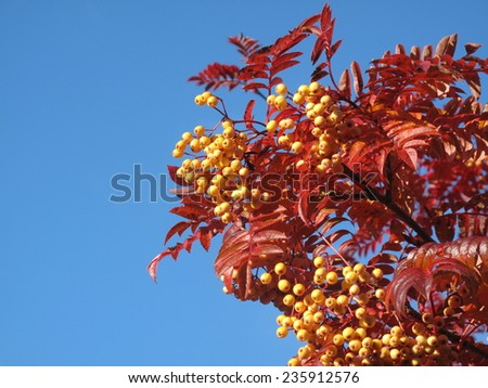 Rowan berries against a blue sky - stock photo