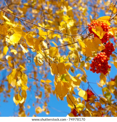 Rowan berries and birch leaves over blue sky background - stock photo
