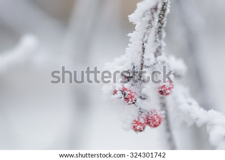 rowan berries covered with frost, shallow focus - stock photo