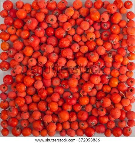 Rowan berries. Mountain ash background - stock photo