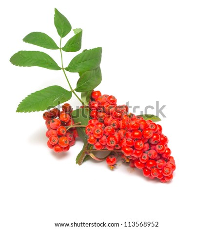 Rowan branch on a white background