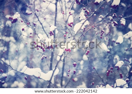 Rowan in snow closeup, with retro color filter  - stock photo