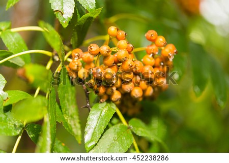 Rowan tree berries on a branch. - stock photo