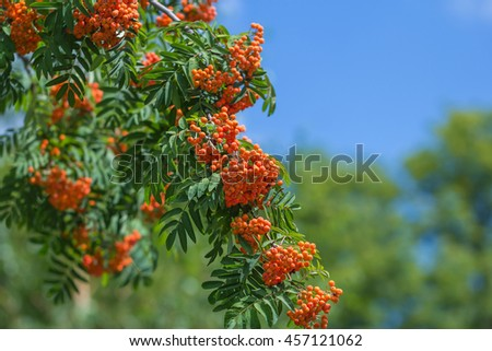 rowan-tree lush bunches of red mountain ash on the branches of a tree. shallow depth of field - stock photo