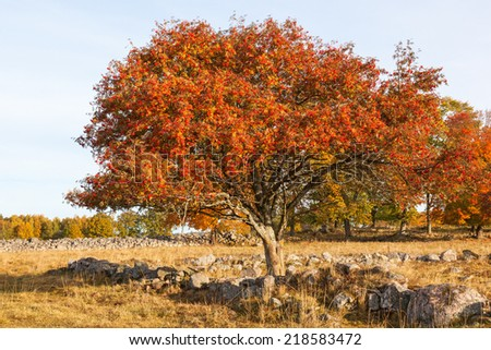 Rowan Tree with autumn colors in the meadow - stock photo