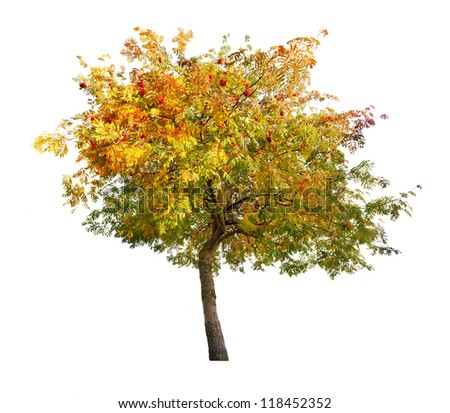rowan tree with berries isolated on white background - stock photo
