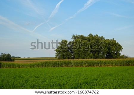 Rows and rows and acres of unpicked corn in amish country separated by some large old oak shade trees  - stock photo