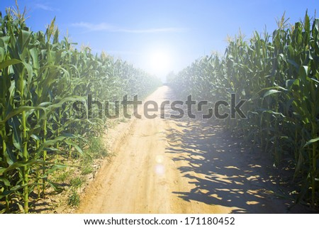 Rows and rows of corn.  - stock photo