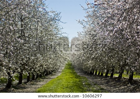 Rows of almond trees in bloom in an orchard. - stock photo