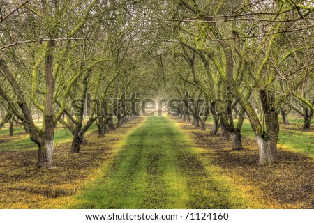 Rows of almond trees in the winter