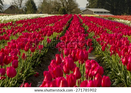Rows of assorted colors of tulip plants on tulip bulb farm in early morning sun - stock photo