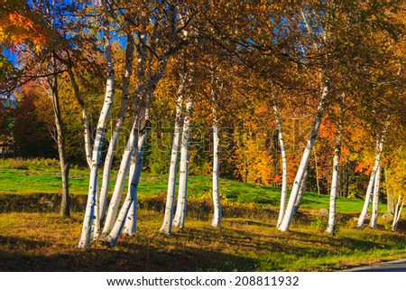 Rows of birch trees, Stowe Vermont, USA - stock photo