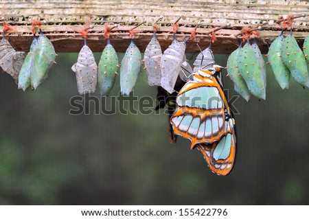 Rows of butterfly cocoons and newly hatched butterfly.  - stock photo