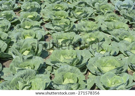 rows of cabbage in the vegetable garden - stock photo