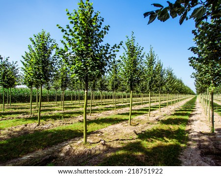 Rows of caucasian lime trees  - stock photo