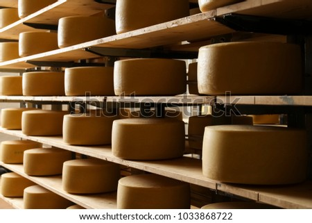 Rows of cheese pieces on wooden shelves in store or at milk factory