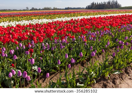 Rows of colorful tulips on a farm in springtime in Oregon. - stock photo