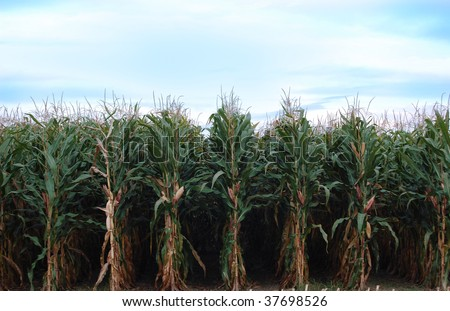 Rows of corn ready to be harvested - stock photo