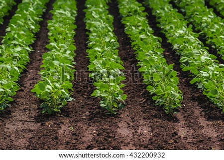 Rows of cultivated soy bean crops in field - stock photo