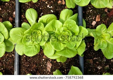 Rows Fresh Lettuce Farm Closeup Plant Stock Photo 100 Legal