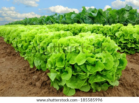 Rows of fresh lettuce plants on a fertile field, ready to be harvested - stock photo