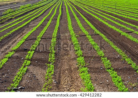 Rows of Fresh Young Green Seedling of Carrots in Israel  - stock photo
