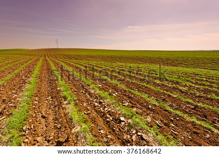 Rows of Fresh Young Green Seedling of Carrots in Israel at Sunset - stock photo