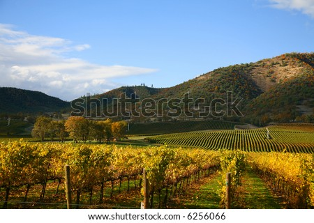 Rows of Grape Vines in Vineyard at Autumn Time - stock photo
