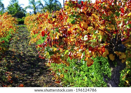 Rows of grape vines with autumn leaves in Australian winery vineyard. - stock photo