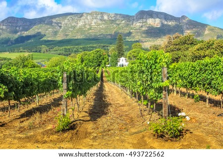 Rows of grapes in picturesque Stellenbosch wine region with Thelema Mountain as a backdrop. The Vineyards of Stellenbosch is one of the most popular attractions of South Africa near Cape Town.