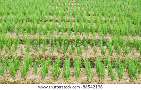 Rows of green chives in a large vegetable garden - stock photo