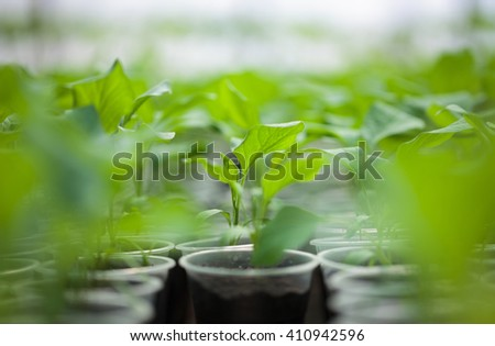 Rows of green plant seedlings in green house. Cultivated sprouts in rich soil were grown under the sun in glasshouse, macro close up with shallow depth of field and no models - stock photo