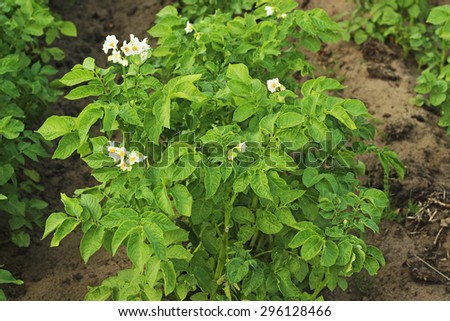 rows of green potato plant - stock photo