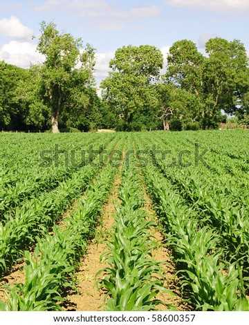 Rows of Growing Agricultural Crops - stock photo