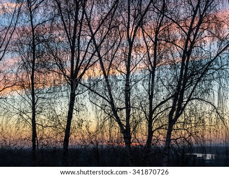 Rows of growing birch trees create a silhouette against a blue and pink sky at sunset in Colour