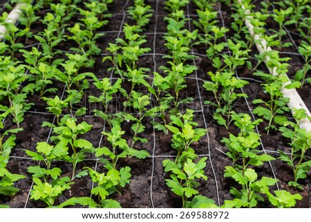 Rows of just planted small chrysanthemum cuttings growing in a Dutch specialized nursery. - stock photo