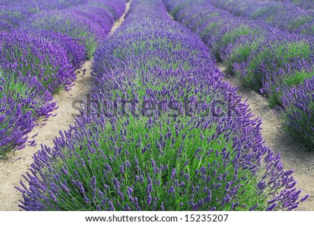 Rows of lavender in a field - stock photo