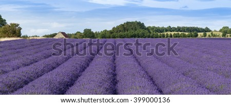 Rows of lavender ripen under the summer sun