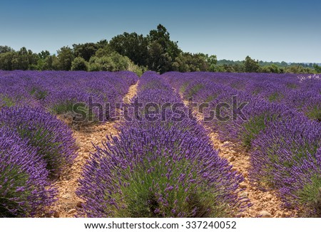 Rows of  lavender with blue sky. Plateau de Valensole, Provance, France