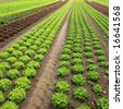 Rows of Lettuce - stock photo