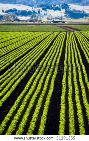 Rows of lettuce growing in the Parajo Valley of California - stock photo