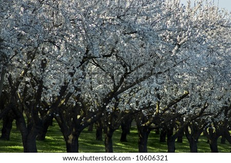Rows of old almond trees in bloom. - stock photo