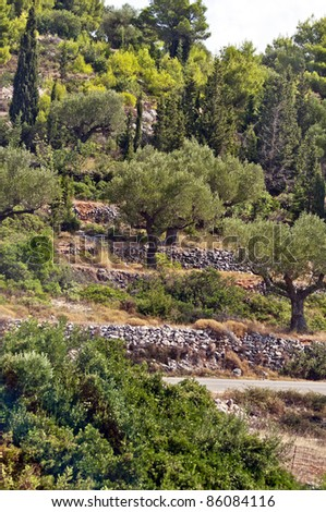 Rows of olive trees - olive tree plantation - stock photo